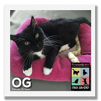 Domestic Shorthair Cat for adoption in Palm Desert, California - OG