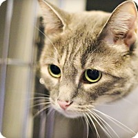 Domestic Shorthair Cat for adoption in Lincoln, Nebraska - Rajya
