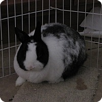 Dwarf Hotot Mix for adoption in Warren, Michigan - Levi & Lucy-Pending