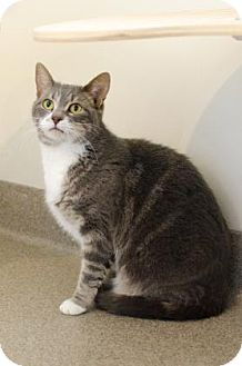 Domestic Shorthair Cat for adoption in Peace Dale, Rhode Island - Alice