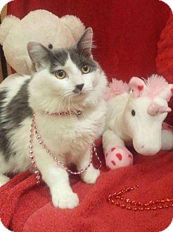 Domestic Shorthair Cat for adoption in Arlington/Ft Worth, Texas - Tofu