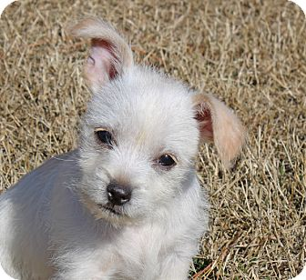 Chihuahua/Terrier (Unknown Type, Small) Mix Puppy for adoption in kennebunkport, Maine - Mollie - in Maine, PENDING