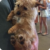 Adopt A Pet :: Brownie Boy - N. Babylon, NY