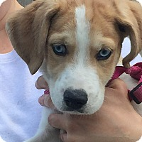 Adopt A Pet :: Husky mix - Crystal Lake, IL