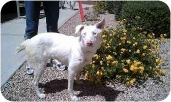 Australian Shepherd Mix Dog for adoption in Mesa, Arizona - Paris