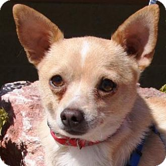 Chihuahua/Rat Terrier Mix Dog for adoption in Gilbert, Arizona - Ralphie