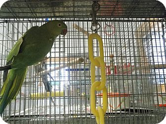 Ringneck for adoption in Neenah, Wisconsin - Minnie