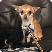 Adopt A Pet :: Lacy - Detroit, MI - Dayton, OH