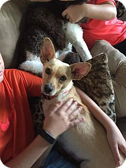 Chihuahua/Miniature Pinscher Mix Dog for adoption in Mentor, Ohio - LACEY** 18 pounds of beauty