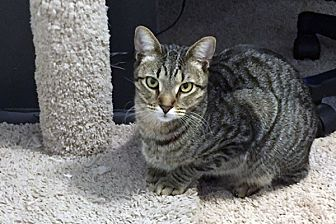 Domestic Shorthair Cat for adoption in Durham, North Carolina - Pippin