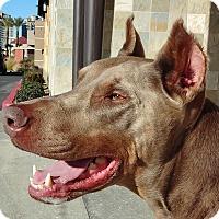 Doberman Pinscher Dog for adoption in Las Vegas, Nevada - Brutus the Fawn