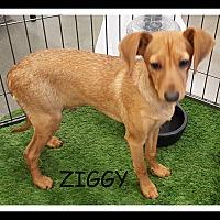 Adopt A Pet :: ZIGGY - Winchester, CA