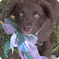 Adopt A Pet :: Henley - Denver, CO