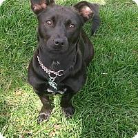 Adopt A Pet :: Mocha - Flossmoor, IL