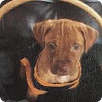 Adopt A Pet :: Pongo - Gloucester, MA