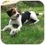 Photo 1 - Beagle Puppy for adoption in Waukesha, Wisconsin - Manson