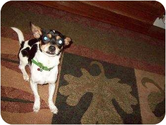 Chihuahua/Jack Russell Terrier Mix Dog for adoption in Crown Point, Indiana - Radar