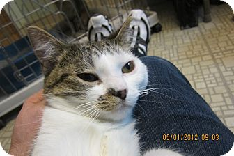 Domestic Shorthair Cat for adoption in Sterling Hgts, Michigan - Kara