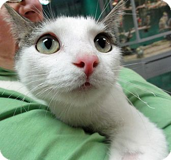 Domestic Shorthair Kitten for adoption in Mt. Prospect, Illinois - Lucy