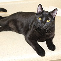 American Shorthair Cat for adoption in Waynesville, North Carolina - Betty