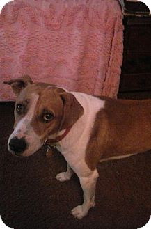 Harrier Mix Dog for adoption in Mary Esther, Florida - Farley