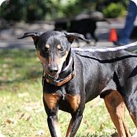 Adopt A Pet :: Levi - Houston, TX