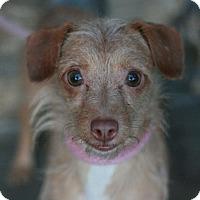 Adopt A Pet :: Alex - Canoga Park, CA