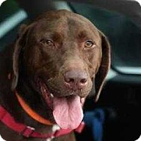 Labrador Retriever Dog for adoption in Mebane, North Carolina - Root Beer