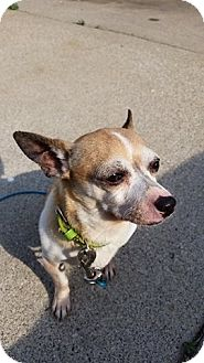 Chihuahua Dog for adoption in Garden City, Michigan - Beans