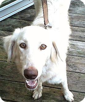 Golden Retriever Mix Dog for adoption in BIRMINGHAM, Alabama - Lola III