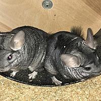 Adopt A Pet :: Enzo & Ferruccio - Granby, CT
