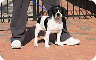 Basset Hound Mix Puppy for adoption in Folsom, Louisiana - Tucker