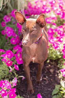 Miniature Pinscher/Rat Terrier Mix Dog for adoption in Syracuse, New York - Bonnie