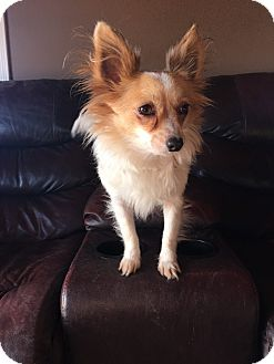 Papillon/Chihuahua Mix Dog for adoption in Russellville, Kentucky - Fancy