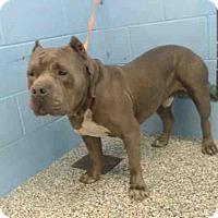 Pit Bull Terrier Mix Dog for adoption in San Bernardino, California - URGENT on 3/4 SAN BERNARDINO