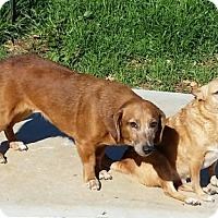 Dachshund Mix Dog for adoption in Blacksburg, South Carolina - Pedita