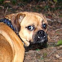 Pug/Beagle Mix Dog for adoption in Louisville, Kentucky - Simon