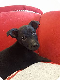 Labrador Retriever/Jack Russell Terrier Mix Puppy for adoption in Minot, North Dakota - Nola