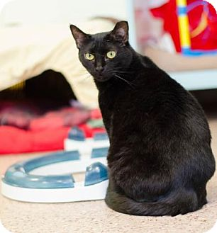 Domestic Shorthair Cat for adoption in Philadelphia, Pennsylvania - Serenity