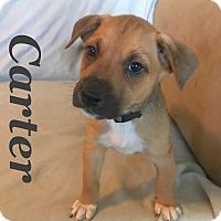 Adopt A Pet :: Carter - Gainesville, GA