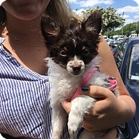 Adopt A Pet :: Gizmo - Puppy - Dallas, TX