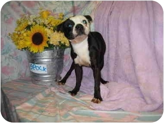 Boston Terrier Dog for adoption in Fort Wayne, Indiana - Spock