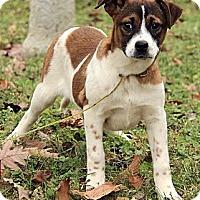 Adopt A Pet :: Isabella - Brattleboro, VT