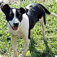 Adopt A Pet :: Cow - Port Orange, FL