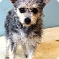 Adopt A Pet :: Mopsy - Shawnee Mission, KS