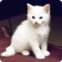 Adopt A Pet :: Fleur - Chicago, IL