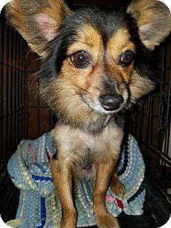 Papillon/Tibetan Spaniel Mix Dog for adoption in Santa Ana, California - Rebel - (RC)