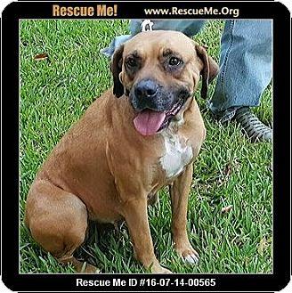 Boxer Mix Dog for adoption in hollywood, Florida - Kiera