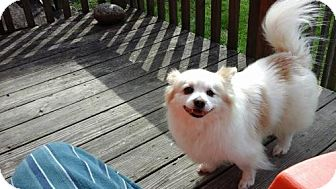 American Eskimo Dog/Pomeranian Mix Dog for adoption in Delaware, Ohio - Reed