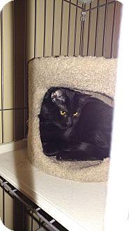 Domestic Shorthair Cat for adoption in Morris, Illinois - CAPONE